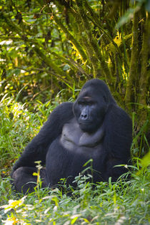 Mountain gorilla (Gorilla beringei beringei) in a forest by Panoramic Images