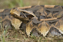 Close-up of a Gaboon viper (Bitis gabonica), Lake Victoria, Uganda von Panoramic Images