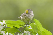 Close-up of a Small Ground-finch (Geospiza fuliginosa) perching on a plant von Panoramic Images