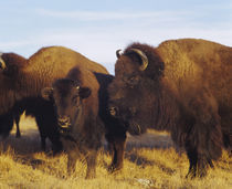 Close-up of buffalos and a calf, Taos Pueblo, New Mexico, USA by Panoramic Images