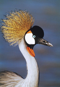 Crowned Crane Tanzania Africa by Panoramic Images