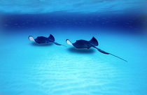 Southern Stingrays Grand Caymans von Panoramic Images