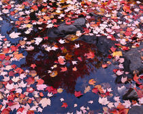 USA, Maine, Maple leaves von Panoramic Images