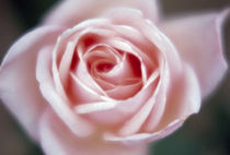Close-up of a pink rose von Panoramic Images