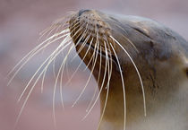 Close-up of a Galapagos sea lion (Zalophus wollebaeki) by Panoramic Images
