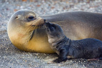 Galapagos sea lion (Zalophus wollebaeki) with its young one von Panoramic Images