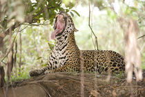 Jaguar (Panthera onca) yawning on a tree trunk von Panoramic Images
