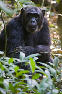 Chimpanzee (Pan troglodytes) in a forest, Kibale National Park, Uganda von Panoramic Images