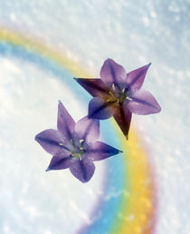 Two violet flower on white blue and yellow background von Panoramic Images