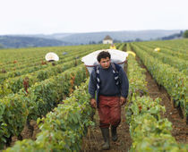 Mid adult man walking in a vineyard, Cote De Beaune, Burgundy, France von Panoramic Images