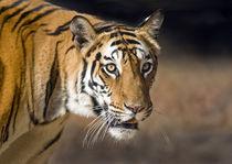 Close-up of a Bengal tiger (Panthera tigris tigris) von Panoramic Images