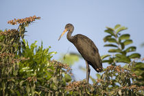 Limpkin (Aramus guarauna) perching on a tree by Panoramic Images