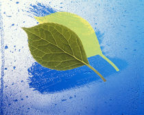 Two leaves one on top of another with shadow on wet blue surface by Panoramic Images