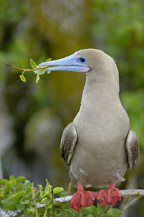 Close-up of a Red-Footed Booby (Sula sula) perching on a tree by Panoramic Images