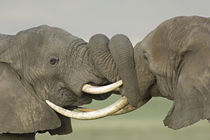 Two African elephants fighting in a field by Panoramic Images