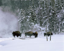 USA, Wyoming, View of bison in the snow von Panoramic Images
