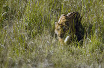 Bengal Tiger (Panthera tigris tigris) cub walking in a forest by Panoramic Images