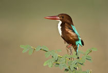 White-Throated kingfisher (Halcyon smyrnensis) perching on a tree von Panoramic Images