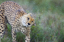 Cheetah shaking off water from its body von Panoramic Images