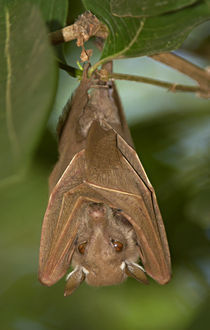 Close-up of a bat hanging from a branch, Lake Manyara, Arusha Region, Tanzania by Panoramic Images