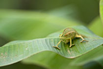 Close-up of a Dwarf chameleon (Brookesia minima), Lake Victoria, Uganda von Panoramic Images