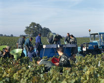 Manual workers in a vineyard von Panoramic Images