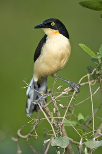 Close-up of a Black-Capped donacobius (Donacobius atricapilla) von Panoramic Images