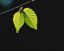 Two green leaves on thin branch on black von Panoramic Images