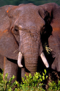 Elephant Tanzania Africa von Panoramic Images
