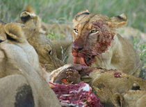 Four lioness eating a kill by Panoramic Images