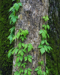 Poison ivy vine on tree trunk, Kistachie National Forest, Louisiana, USA. by Panoramic Images