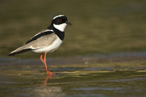 Close-up of a Ringed plover (Charadrius hiaticula) by Panoramic Images