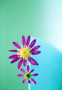 Close up of purple flowers with yellow centers on turquoise background by Panoramic Images