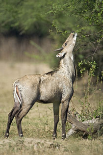 Nilgai (Boselaphus tragocamelus) feeding on tree leaves in a forest von Panoramic Images