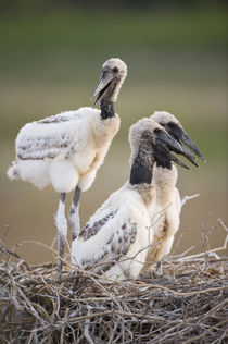 Jabiru stork (Jabiru mycteria) chicks in a nest by Panoramic Images
