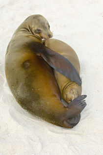 Galapagos sea lion (Zalophus wollebaeki) with its young one on the beach von Panoramic Images