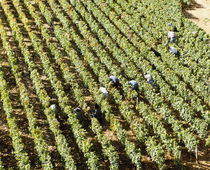 High angle view of manual workers picking grapes in a vineyard, Burgundy, France von Panoramic Images