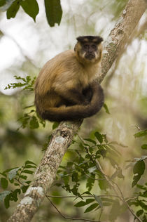 Close-up of a Brown capuchin (Cebus apella) von Panoramic Images