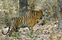 Bengal Tiger (Panthera tigris tigris) cubs walking in a forest by Panoramic Images