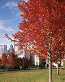 USA, Illinois, Chicago, Millennium Park, Trees in a park during Autumn von Panoramic Images