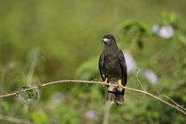 Snail kite (Rostrhamus sociabilis) perching on a branch by Panoramic Images