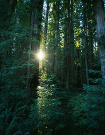 Low angle view of sunstar through redwood trees by Panoramic Images