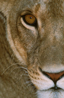 Lioness Close-Up Tanzania Africa by Panoramic Images