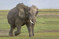 African elephant (Loxodonta Africana) running in a field by Panoramic Images