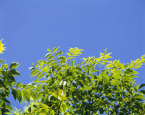 Low angle view of leaves on branches, Shiretoko Peninsula, Hokkaido, Japan by Panoramic Images