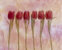 Six pink tulips  von Panoramic Images
