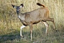 Sambar (Cervus unicolor) running in a forest von Panoramic Images