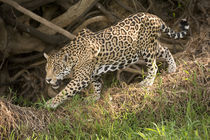 Jaguar (Panthera onca) foraging in a forest by Panoramic Images