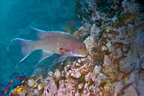 Mexican hogfish (Bodianus diplotaenia) swimming underwater von Panoramic Images