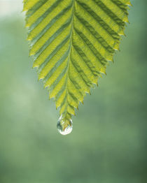 Dew drop on a leaf by Panoramic Images